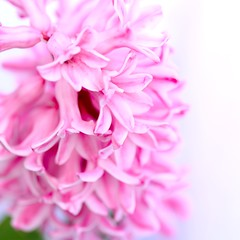 Pink hyacinth (CCphotoworks) Tags: pink plants nature outdoors spring whitebackground springflowers hyacinths prettyflowers fragrantflowers pinkhyacinth
