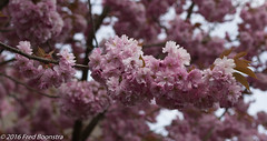 IMG_7398-1 (A.J. Boonstra) Tags: canon f14 usm ef50mm prunusaccolade 700d