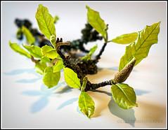 leaves of magnolia (Fay2603) Tags: light green leaves licht indoor frame grn bltter fotorahmen