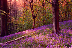 The Enchanted Forest (Stacey Legge Photography) Tags: trees bluebells southwales fairytale forest landscape woods folklore pixie elf fairy lilac fantasy colourful magical faerie mythical woodlandtrust coedywenallt staceylegge