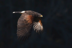 Harris' hawk (Phiddy1) Tags: ontario canada birds hawk crc harrishawk canadianraptorconservancy
