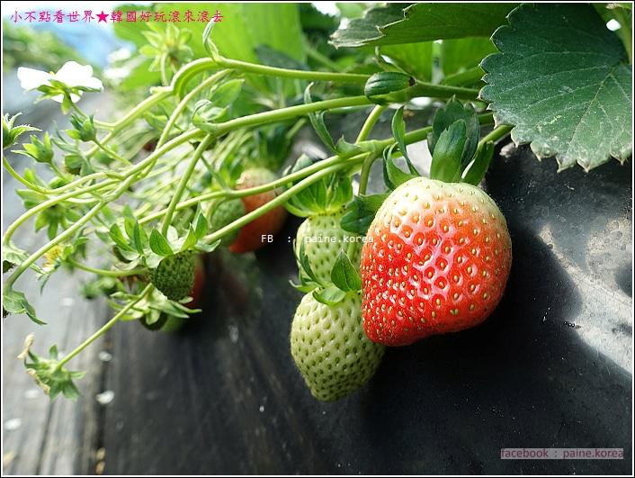 草莓園採草莓 (10).JPG