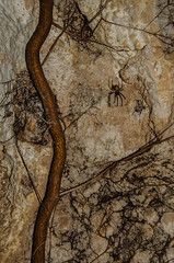 Meta bourneti (mangia.maurizio) Tags: spider italia meta cave salento grotta ragno caverna bourneti
