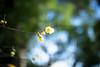 A Sign (moaan) Tags: winter color yellow japan dof bokeh january kobe jp utata hyogo upward japaneseallspice wintersweet 2016 uptothesky canoneos7dmarkii ef35mmf14liiusm