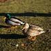 Casal de patos