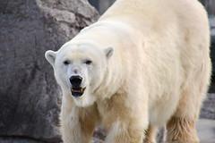 Polar Bear (MarkusR.) Tags: bear animal germany zoo nikon stuttgart polarbear botanicalgarden markus tier br eisbr wilhelma botanischergarten markusrieder mrieder d3100 nikond3100