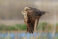 Great Horned Owl (bmse) Tags: california eye yellow canon great 7d owl l f56 salah sanjacinto horned 400mm wingsinmotion bmse baazizi