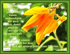 Gemeinschaft / fellowship (Martin Volpert) Tags: flower fleur jesus flor pflanze bible blomma christianity blume fiore blte bibel blomster virg christus lore biblia bloem blm iek floro kwiat flos ciuri solanaceae bijbel kvet kukka cvijet flouer glauben christentum blth cvet zieds is floare  blome iedas bibelverskarte mavo43 juanulloaaurantiaca jesus christus orangerotejuanullie