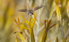 Nectar hunt (kylebagleyphotos) Tags: summer flower macro nature yellow canon washington pretty glow wildlife sigma insects bugs nectar wilderness pnw ellensburg