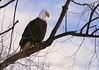Proud (tieulinhclc - Thanks for 2 million + views) Tags: chien bird nature birds eagle wildlife du prairie wi eagles birdwatch prairieduchien naturebeauty dazzlingshots dlphotography dandlphotography