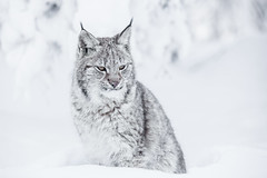 A minute for reflection (nemi1968) Tags: winter portrait white snow animal closeup cat canon fur nose snowflakes bokeh ngc january ears npc lynx gaupe langedrag markiii catfamily eurasianlynx specanimal canon5dmarkiii ef70200mmf28lisiiusm eyescold eartufs