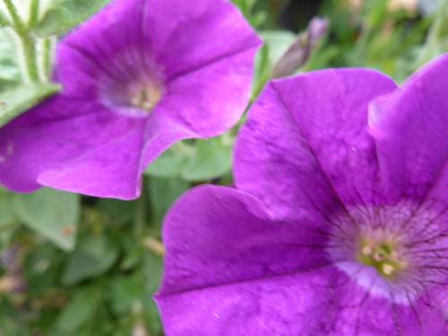 Purple Petunias !