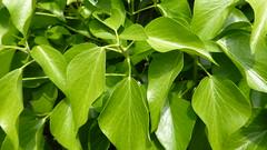 P1040126 (omirou56) Tags: macro green nature garden outdoor natur natura greece april 169 panasoniclumixdmctz40