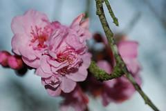 plum_20160213_6 (faeparsons) Tags: flowers blossoms plumblossoms
