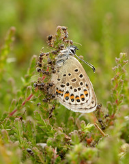 Silver-studded Blue Plebejus argus (Iain Leach) Tags: macro nature beautiful beauty closeup canon butterfly insect outdoors photography image wildlife moth conservation lepidoptera photograph invertebrate macrophotography lycaenidae birdphotography plebejusargus silverstuddedblue beautyinnature wildlifephotography canoncameras canon5dmk3 canon1dx wwwiainleachphotographycom iainhleach