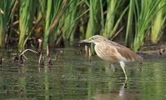 Squacco heron (atlas1gp) Tags: bird sanctuary squaccoheron marievale