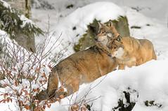 I due lupi (marypink) Tags: snow germany wolf germania canis carnivora canislupus canidae nikkor80400mmf4556 nikond7200 bayerisherwaldnationalpark lupieuropei