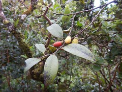 Lama Fruit (XJCreations) Tags: fruit lama diospyros xjcreations