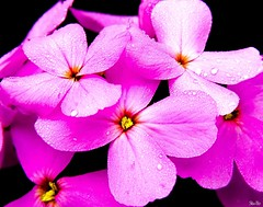 spring dreaming... (Stu Bo) Tags: life flowers light nature wet water floral colors beautiful droplets spring colorful shadows natural sbimageworks notimnotafloralphotographerbyanymeans