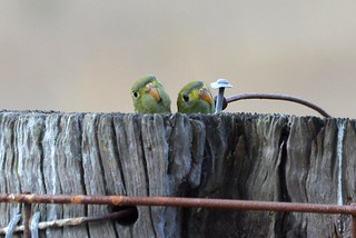 Blue-winged Parrot chicks_2966E
