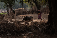 DEOGHAR - VILLAGE-20160129_DSC_0209 (JDB_Photography) Tags: woman village cattle path shelter