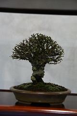 DSC00156 (Prox-Photography) Tags: show winter tree pine stand maple image swindon pot korean bonsai yew raft elm hawthorne larch accent juniper hornbeam 2016