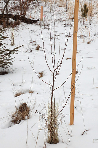 "White Birch, Planted 2014 <a style=""margin-left:10px; font-size:0.8em;"" href=""http://www.flickr.com/photos/91915217@N00/24823371780/"" target=""_blank"">@flickr</a>"