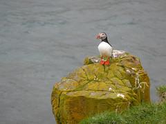 unbenannt-1170205 (Jrgen Friedlein) Tags: island vogel 2010 austurland papageientaucher borgarfjrureystri borgarfjararhreppur