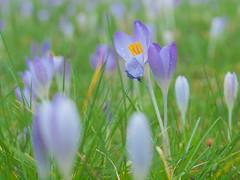 krokus P2077205 (hans 1960) Tags: flower colour green nature fleur rain outside spring blossom bokeh outdoor natur rainy grn krokus farben frhling