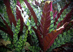 Green and Red (mystuart) Tags: winter red green leaves botanical conservatory indoors biltmore botany bicolor
