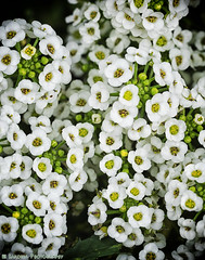 Alyssum in Fall (mjardeen) Tags: white plant flower color macro texture nature washington pattern blossom outdoor vibrant sony small wa tacoma organic fe 90mm f28 alyssum oss a7ii a7m2