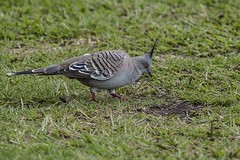Crested Pigeon (Geoffsnaps) Tags: ed nikon head pigeon panoramic carbon nikkor fx crested gitzo vr afs monopod acratech crestedpigeon ocyphapslophotes 200500mm d810 nikond810 gm5541 monopodhead f56e gitzogm5541carbonmonopod acratechpanoramichead nikonnikkor200500mmf56eedvrafs