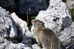 First steps to discover the world near the den (Hotel Teresa) Tags: park parco nature st alpes de hotel al san natural alpina plan des val alpine experience di teresa marmot vigil dolomites dolomiti braies badia marmotta naturpark dolomiten senes  mareo marmota marmotte sciuridae naturale marebbe prags sennes fanes vigilio gadertal enneberg alpenmurmeltier