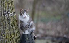 kitty (02) (Vlado Ferenčić) Tags: cats animals kitty croatia catsdogs animalplanet podravina hrvatska nikkor8020028 nikond600
