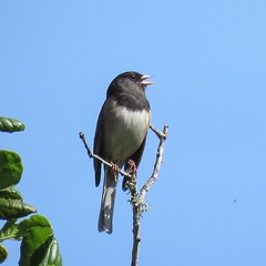 Dark-eyed junco belts out his trill like song. (avilacats) Tags: droh dailyrayofhope