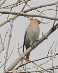 Bohemian Waxwing (jaybirding) Tags: bird me us maine hallowell stormer leicavlux114