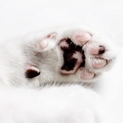 309 (Rafi Moreno) Tags: cat canon vintage hipster pale retro gato oreo mascotas rafi fondoblanco 365proyect proyecto365fotos