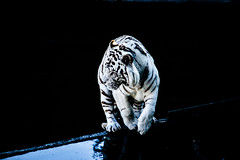 black and white (Ssnke86) Tags: madrid blancoynegro zoo tigre tigreblanco