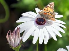 DSC_0164 (rachidH) Tags: flowers vanessa nature cosmopolitan blossoms egypt butterflies insects bee cairo papillon daisy blooms dame africandaisy cynthia paintedlady osteospermum vanessacardui blueeyeddaisy vanessedeschardons labelledame vanesse rachidh