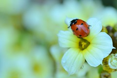Ladybird in Summer Garden (pallab seth) Tags: park uk summer plant flower colour macro london nature yellow garden bokeh outdoor small insects petal flowering ladybugs ladybirds ladybeetles sisyrinchium coccinellidae coccinellaseptempunctata sisyrinchiumstriatum nikond7000 paleyelloweyedgrass tamronaf90mmf28dispam11macrolens thesevenspotladybird