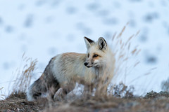 Grand Teton Fox (skiserge1) Tags: park old winter red wild portrait people white nature face animal outdoors one looking cross head background wildlife young band grand jackson national fox wyoming teton isolated