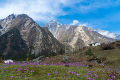 ON THE WAY TO YUMTHANG VALLEY (::: a j z p h o t o g r a p h y :::) Tags: india flower purple hill violet valley himalaya primula sikkim snowmountain yumthang northsikkim