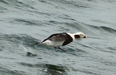 Long-tailed Duck (lycaenidae_nm) Tags: brooklyn