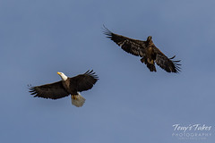 Bald Eagles battle for breakfast - Sequence - 41 of 42