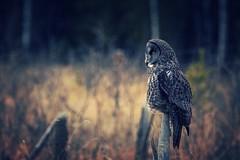Spectral (Tracey Rennie) Tags: twilight silent dusk hunting greatgreyowl alberta owl greatgrayowl spectral cochrane strixnebulosa