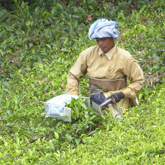 Tea picking with shears (Jackie & Dennis) Tags: tea munnar plantations rwh teapicking ramblersworldwideholidays