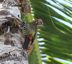 *** Pic d'Hispaniola male (ricketdi) Tags: bird ngc pic npc coth hispaniolanwoodpecker melanerpesstriatus coth5 picdhispaniola