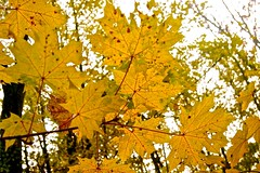 Blter (izoll) Tags: sony herbst gelb blatt bltter bume baum herbstwald herbstfrbung sony380 izoll