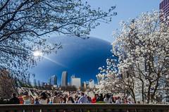 DSC_1109 edited-176 (pattyg24) Tags: chicago skyline cloudgate thebean starmagnolia milenniumpark