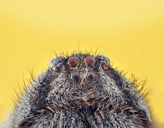 ..:: Terra de gigantes ::.. (RodriiigoSouza) Tags: macro braslia nikon spyder 60mm nikkor brasilia aranha macrofotografia nikkor60mm 28d d700 rodrigosouza sb700 rodriiigo rodriiigosouza rodriiigoaraujo yng467